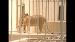 Vintage 16mm film, 1955 France, lion enclosure zoo #2 Stock Footage