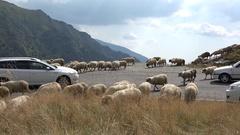 Sheep herd block the mountain road, cars traffic jam on alpine highway Stock Footage