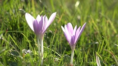 Gentle crocus on green grass moving in spring breeze  Stock Footage