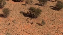 Wildebeest Running, Ariel Shot Stock Footage