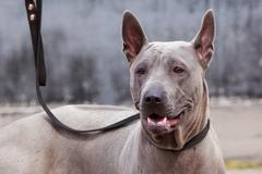 Dog breed Thai Ridgeback Stock Photos