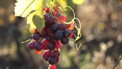 Tasty red grapes and red leaf, focus on, sun shinning in vinegard, rich autumn  Stock Footage