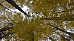 Looking up to yellow trees, rotating, dreaming Stock Footage