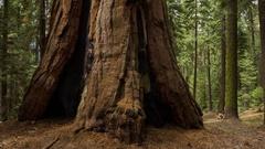 MoCo Timelapse Tracking Shot of Giant Sequoia Trunk -Tilt Up- Stock Footage
