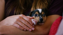 4K Young puppy cuddled up in the arms of it's owner Stock Footage