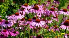 Echinacea purpurea Stock Footage