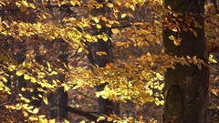 Beautiful autumn forest, golden leaves, sunny day Stock Footage