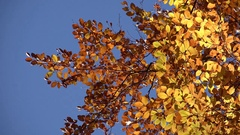 Yellow autumn leaves and blue serene sky Stock Footage