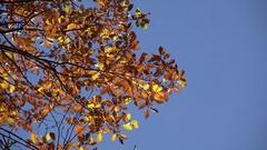 Golden autumn leaves, serene blue sky Stock Footage