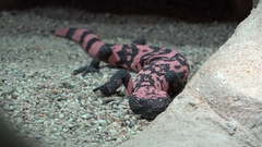 Gila monster (Heloderma) venomous lizard resting behind a stone Stock Footage