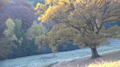 One autumn tree in the field, misty morning Stock Footage
