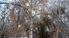 Birch are covered with ice after rain in winter Stock Footage