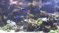 Restless fish swimming in aquarium, colored and and dynamic view  Stock Footage