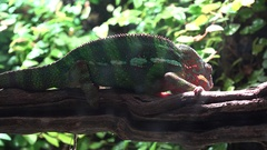 Chameleon on a tree branch Stock Footage