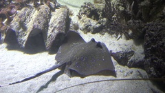 Stingray on water, diamond-shaped body and a long poisonous spine on tail Stock Footage