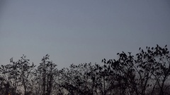 Many black birds on empty trees, bird flying on dark sky, scary landscape Stock Footage