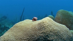 Hermit crab on coral in Caribbean sea Stock Footage