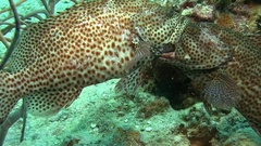 Fighting grouper in Caribbean sea Stock Footage