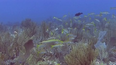 Yellowtail snapper in Caribbean sea Stock Footage