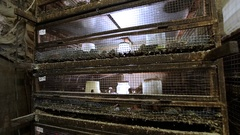 Small quail farm. breeding chickens Stock Footage