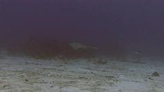 Stingray swimming across the reef in Caribbean sea Stock Footage