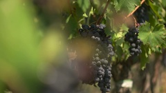 Blue grapes brushes close up Stock Footage