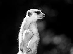 Meerkat on alert Stock Photos