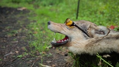 A stuffed wolf in sunglasses Stock Footage