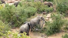 Elephant herd walking in the bush Stock Footage