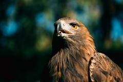 Eagle Haliaeetus albicilla on green grass background Stock Photos