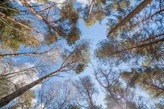 Dense eucalyptus tree woods Stock Photos