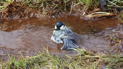 Great tit (Parus major) splashing in a stream in early spring Stock Footage