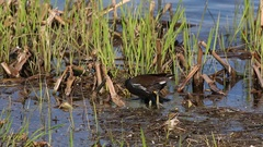 Common moorhen gathers food among coastal vegetation in the pond Stock Footage