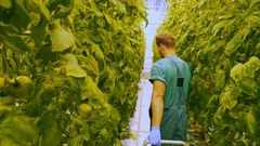 Friendly agronomist checking tomatoes in greenhouse Stock Footage