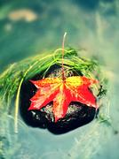 Caught yellow orange maple leaf on  long green algae stone. Colorful symbol Stock Photos