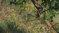 Hawfinch (Coccothraustes coccothraustes) Stock Footage