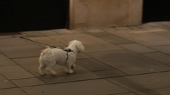 People walk with little leashed white pet dog in public city center of Vienna Stock Footage
