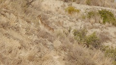 Male and female Iberian ibex Stock Footage
