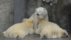 Mother polar bear is brest feeding her adult babies, 1 year old bears. Stock Footage