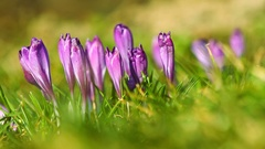 Spring fresh violet crocuses on the grass Stock Footage
