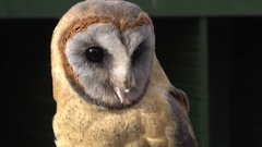 Ashy Faced Barn Owl (Tyto glaucops).  Stock Footage