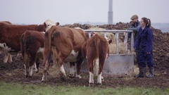 4K Farming couple out in the field checking on herd of cattle Stock Footage