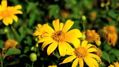 Mexican sunflower weed, Scientific name Tithonia diversifolia Stock Footage