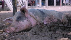 Pink black spotted pig tied to a tree and lying down in the mud on the ground Stock Footage