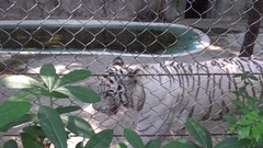 4K A bengala white tiger marking the territory with pee behind a metal mesh-Dan Stock Footage