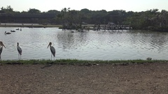 4K African Marabou and Painted Stork birds inside the Pond in Safari travel-Dan Stock Footage