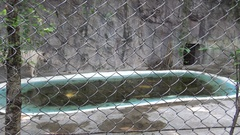 4K Bengala white tiger wallking behind a metal mesh near of pond in the zoo-Dan Stock Footage