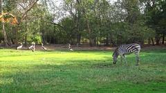 4K Beautiful landscape of a zebra eat green grass in a travel Safari -Dan Stock Footage