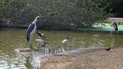 4K African Marabou and Painted Stork birds inside the river in Safari travel-Dan Stock Footage