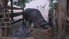 Close up of a black pig inside a pen eating out of a trough made from bricks Stock Footage
